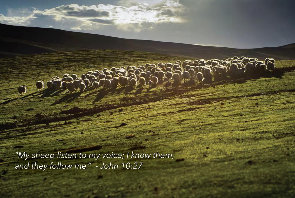 WCA-sheep